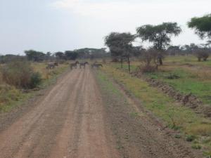 Genuine zebra crossing - in joke for Brits