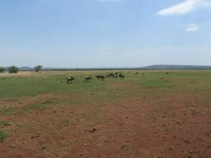 Wildebeest migration. These are either the trailblazers or the stragglers.